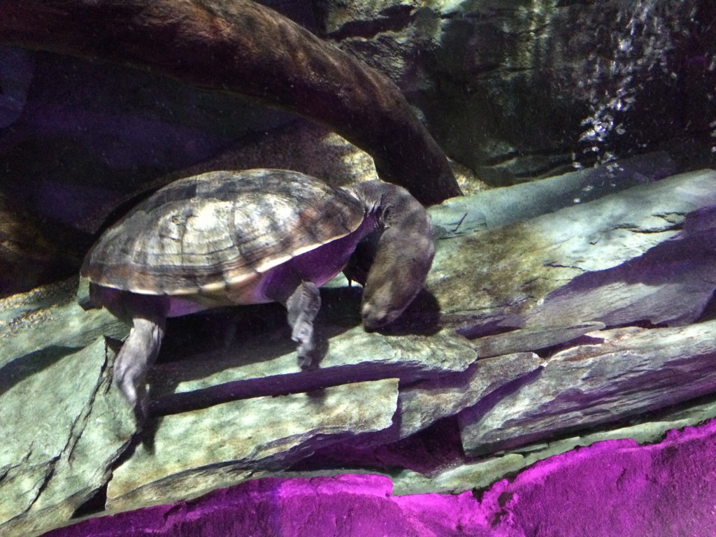 Long necked turtle